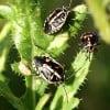 A new invasive pest – a stink bug called Bagrada hilaris. (NMSU photo)