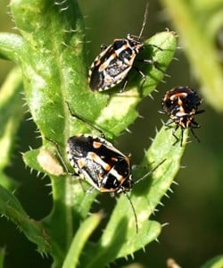 A new invasive pest – a stink bug called Bagrada hilaris. (NMSU photo)